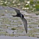 Whiskered Tern flight