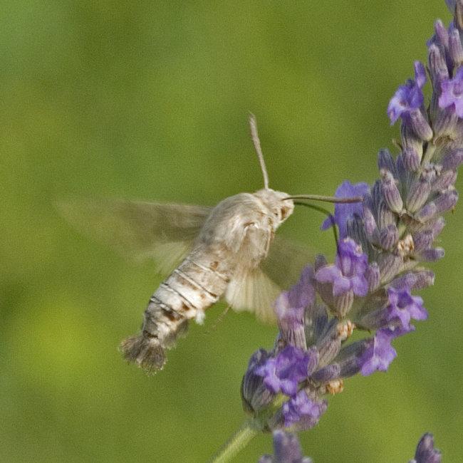 Hummingbird Hawk Moth (pale)