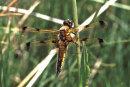 Libellula quadrimaculata (var. praenubila) - Four-spotted Chaser