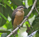 Victoria's Riflebird female