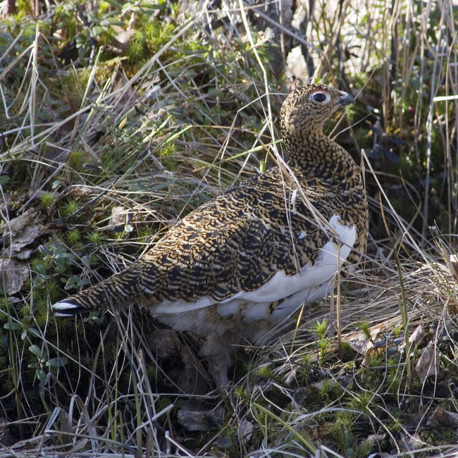 Willow Grouse female