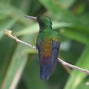 Copper Rumped Hummingbird