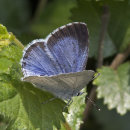 Holly Blue F