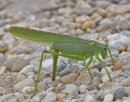 Great Green Bushcricket