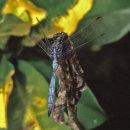 Orthetrum chrysostigma - Epaulet Skimmer