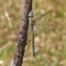 Aeshna affinis (Immature male)- Southern Migrant Hawker