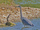 Stoat challenges Grey Heron