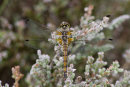 Sympetrum danae  (female) - Black Darter