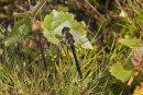 Sympetrum danae  (male) - Black Darter
