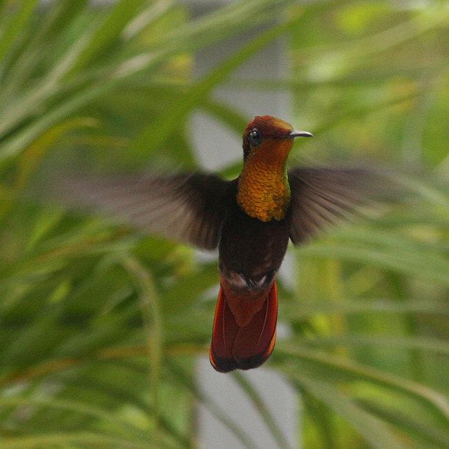Ruby Topaz Hummingbird  male
