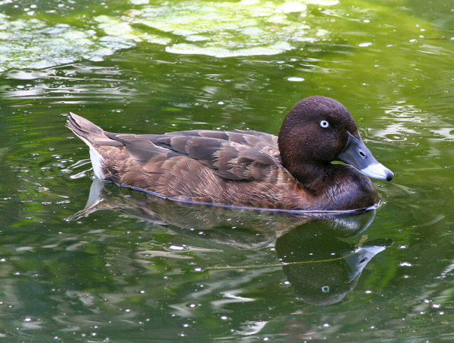 Hardhead / White-eyed Duck