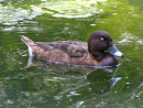 Hardhead / White-eyed Duck
