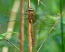 Aeshna isoceles (immature) - Norfolk Hawker