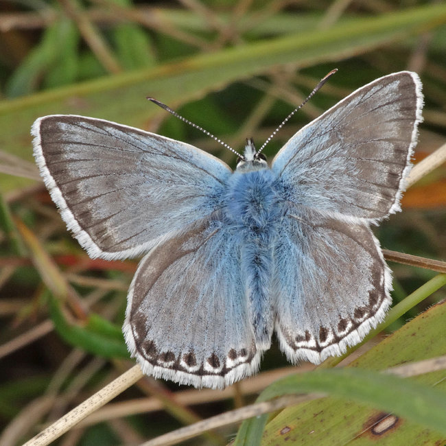 Chalkhill Blue_