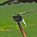 Palpopleura portia - Portia Widow male