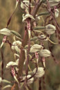 Lizard Orchid - Himantoglosum hircinum