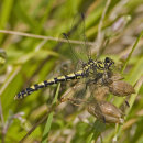 Onychogomphus forcipatus - Green-eyed Hooktail (female)