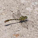 Onychogomphus forcipatus  (male) - Green-eyed Hooktail