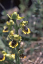 Yellow Ophrys - Ophrys lutea