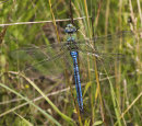 Anax Imperator (male) - Emperor Dragonfly