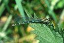 Coenagrion pulchellum  (female) - Variable Damselfly