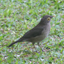 Bare Eyed Thrush