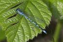 Coenagrion puella (male) - Azure Damselfly
