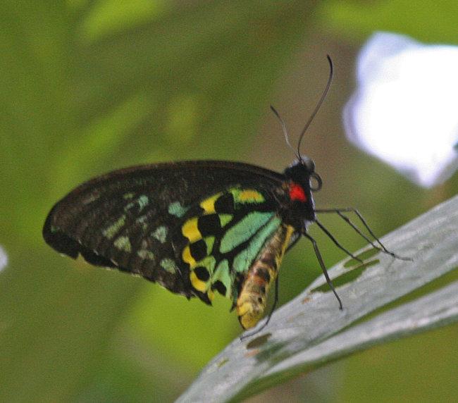 Ornithoptera euphorion - Cairns Birdwing