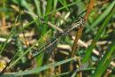 Coenagrion mercuriale (female) - Southern Damselfly
