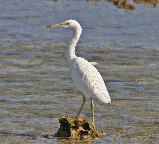 Eastern Reef Egret (pale form)