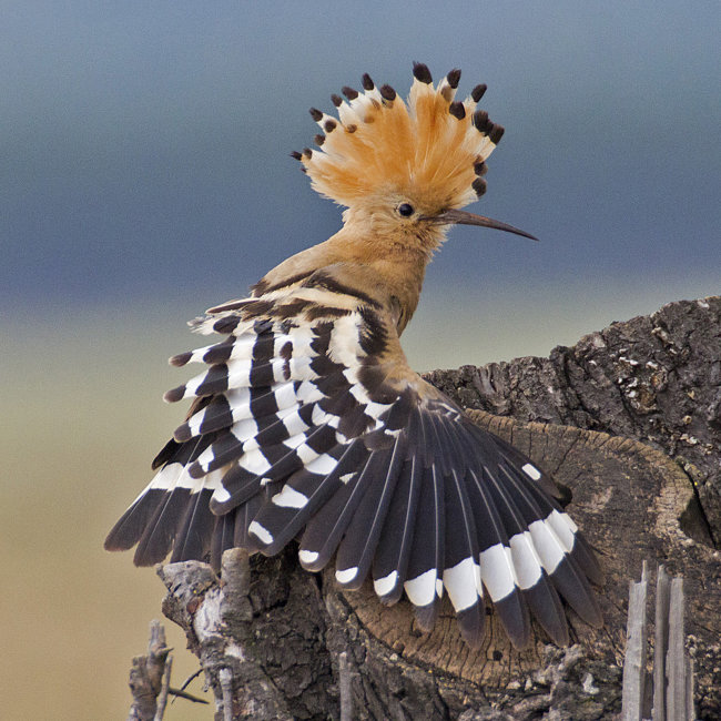 Hoopoe wing stretch