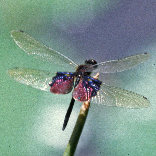Rhyothemis semihyalina - Phantom Flutterer