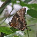 Papilio ulysses - Ulysses
