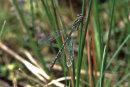 Coenagrion hastulatum (female) - Northern Damselfly