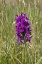Northern Marsh Orchid - Dactylorhiza purpurella