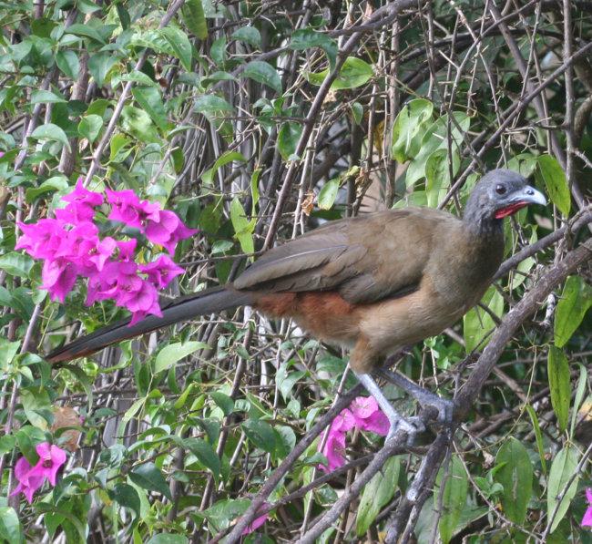 Rufous Vented Chuchalaca (Cocrico)National bird of Tobago