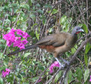 Rufous Vented Chuchalaca (Cocrico)National bird of Tobago