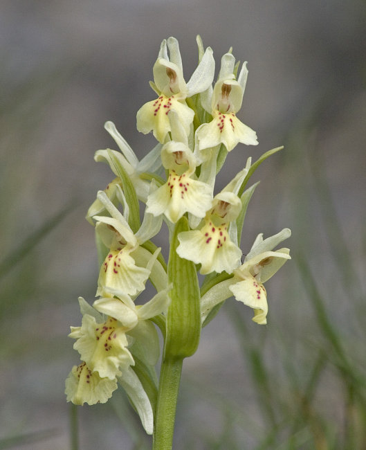 Elderflowered Orchid - Dactylorhiza sambucina