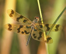 Rhyothemis graphiptera