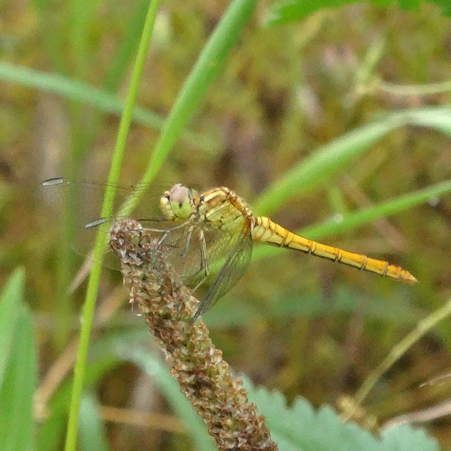 Sympetrum meridionale - Southern Darter