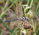 Selysiothemis nigra (Black Pennant)