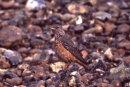 Rock Thrush (female)
