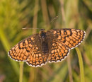 Glanville Fritillary (female)