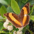 AusButterflies