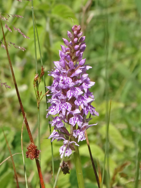 Common Spotted Orchid - Dactylorhiza Maculata Fuchsii