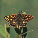 Chequered Skipper
