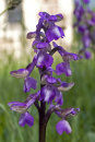 Green Winged Orchid - Orchis morio