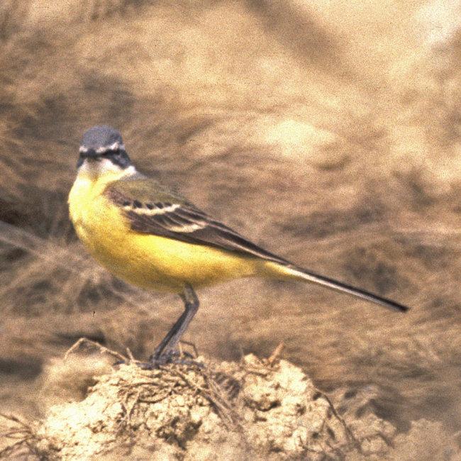 Yellow Wagtail - iberiae