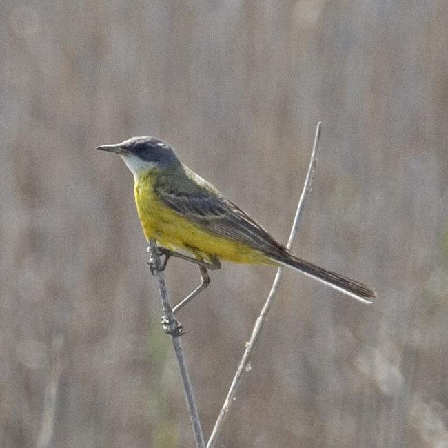Yellow Wagtail - cinereocapilla