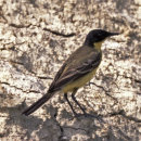 Yellow Wagtail - Black-Headed (Feldegg)